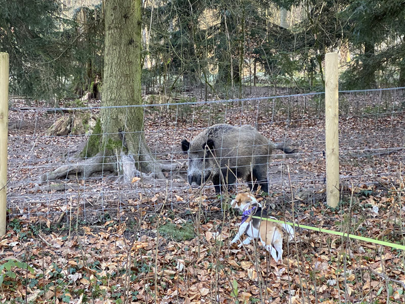 Piglet saying hello to the wild boars at the free campervan parking spot near Baden-Baden
